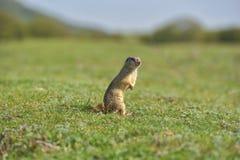 Écureuil moulu européen se tenant dans l'herbe Citellus de Spermophilus Photographie stock libre de droits