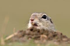 Écureuil moulu européen sur le champ (citellus de Spermophilus) Photos libres de droits