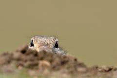 Écureuil moulu européen sur le champ (citellus de Spermophilus) photo stock