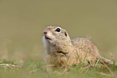 Écureuil moulu européen sur le champ (citellus de Spermophilus) Photographie stock