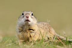 Écureuil moulu européen sur le champ (citellus de Spermophilus) Image stock
