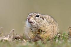 Écureuil moulu européen sur le champ (citellus de Spermophilus) image libre de droits