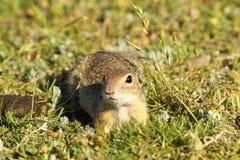 Écureuil moulu juvénile curieux Image libre de droits