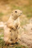 Écureuil moulu regardant sur le pré images stock