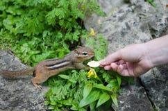 Écureuil moulu se demandant autour de la main du ` s de femme avec une banane sèche Photographie stock libre de droits