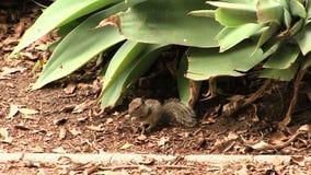 Écureuil moulu se reposant près de l'usine mangeant Santa Monica California banque de vidéos
