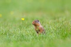 Écureuil moulu se tenant à côté de la fleur jaune Photos stock