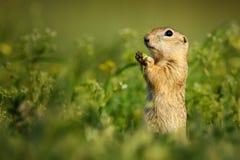 Écureuil moulu se tenant taille-profond dans l'herbe et les prises dans des pattes une fleur images libres de droits