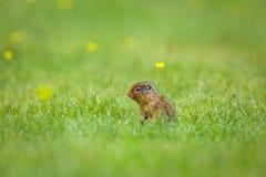 Écureuil moulu sur l'herbe Image stock