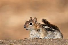 Écureuil moulu sur le tronc d'arbre photos libres de droits