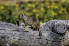 Écureuil moulu sur un rondin 1 photo stock