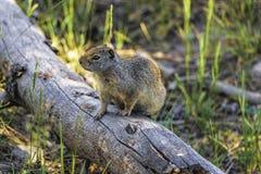 Écureuil moulu sur un rondin 2 photos libres de droits