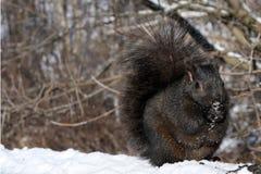 Écureuil noir Photographie stock libre de droits