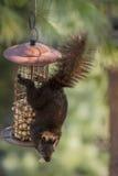 Écureuil noir accrochant sur le conducteur d'arachide Photo libre de droits