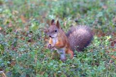 Écureuil parmi une herbe Photo libre de droits