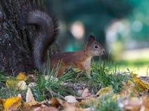 Écureuil pelucheux sur l'herbe en parc Image libre de droits