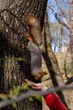 Écureuil pelucheux tenu par des griffes sur un arbre et des écrous de consommation de jeune main de garçon en parc de station de  photos libres de droits