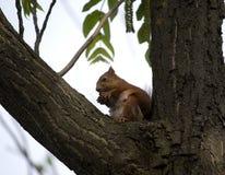 Écureuil peu rouge photos stock