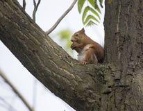 Écureuil peu rouge Photographie stock libre de droits