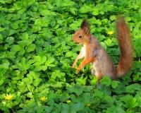 Écureuil - photos courantes photographie stock