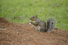 Écureuil portant un son aliment Image libre de droits