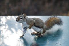 Écureuil posant sur la table campante image stock