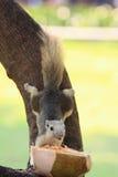Écureuil prenant la nourriture du conducteur de noix de coco Photographie stock