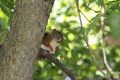 Écureuil pris par surprise Image libre de droits