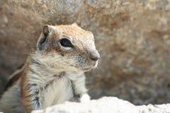 Écureuil rayé Photos stock