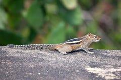 Écureuil rayé de paume de trois ? Image stock