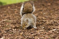Écureuil recherchant la nourriture Photographie stock
