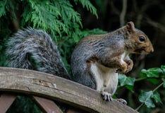 Écureuil recherchant la nourriture images stock
