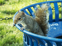 Écureuil recherchant la nourriture Images libres de droits
