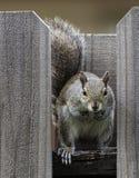 Écureuil regardant fixement en avant sur la barrière en bois Images stock