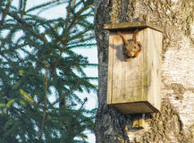 Écureuil regardant hors d'une maison d'oiseaux Photographie stock libre de droits