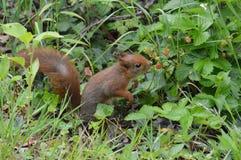 Écureuil regardant pour manger Photographie stock