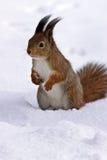 Écureuil restant dans la neige Photographie stock