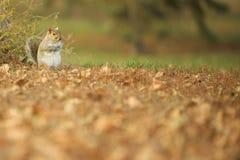 Écureuil restant en stationnement Image libre de droits
