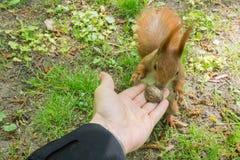 Écureuil rougeâtre prenant l'écrou de la main humaine photographie stock