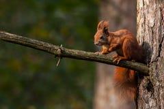 Écureuil rouge images libres de droits