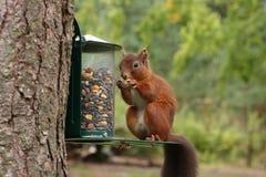 Écureuil rouge Photos libres de droits