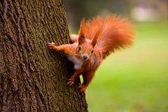 Écureuil rouge images stock