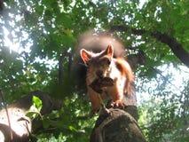 Écureuil rouge Photographie stock