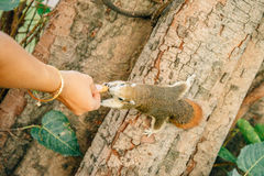 Écureuil rouge alimentant Images libres de droits