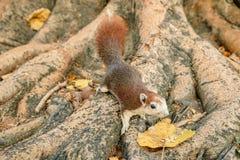Écureuil rouge alimentant Photo libre de droits