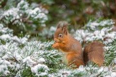 Écureuil rouge alimentant en hiver Photographie stock
