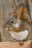 Écureuil rouge américain Photo libre de droits