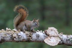 Écureuil rouge américain dans une région boisée Images libres de droits