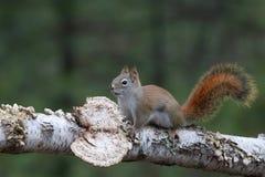 Écureuil rouge américain marchant sur une branche d'arbre Photos stock
