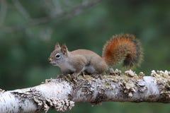 Écureuil rouge américain sur une branche d'arbre de bouleau Images libres de droits